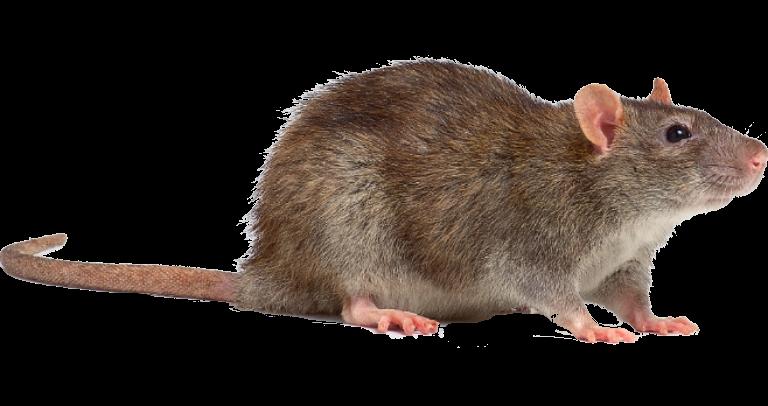 Rata Gris o Rata de Alcantarilla