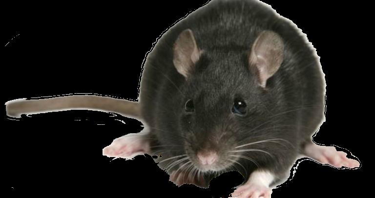 Rata Negra o Rata de los tejados